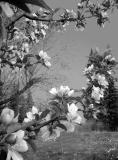 Blossoms in Black and White